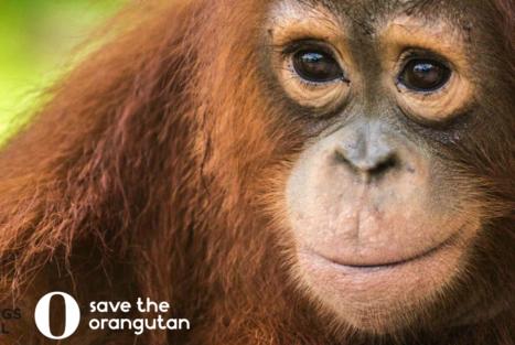 Adoptera Hope eller Taymur hos Save the Orangutan